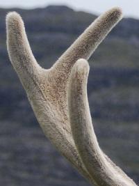 панты оленя