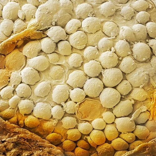 зерно кунжута